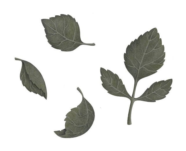 Image of   Stickstay leaves dark green